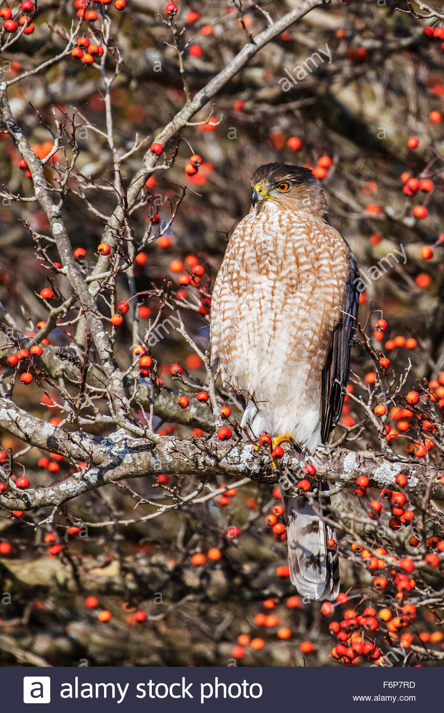 Coopers Hawk (Accipeter cooperii) - Stock Image