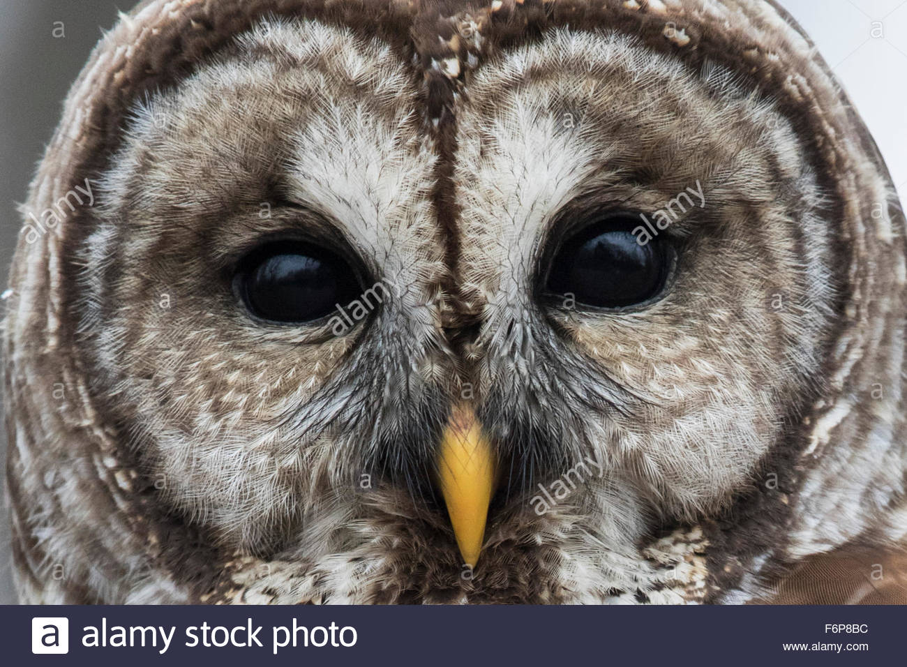 Close up Barred Owl face.(Strix varia) - Stock Image