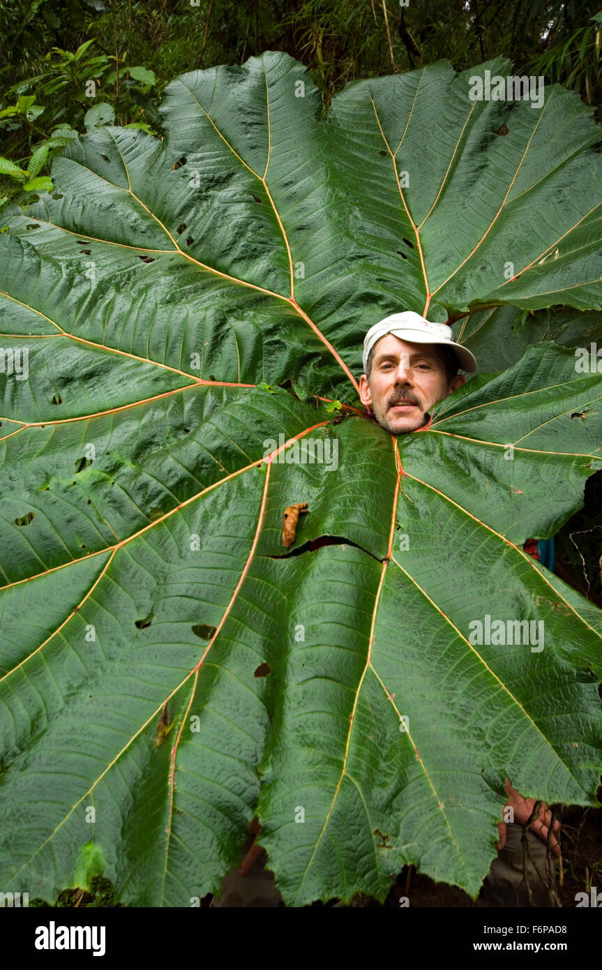 Tourist sticking head through giant leaf of poor man's umbrella (Gunnera insignis) in forest, Tapanti National - Stock Image