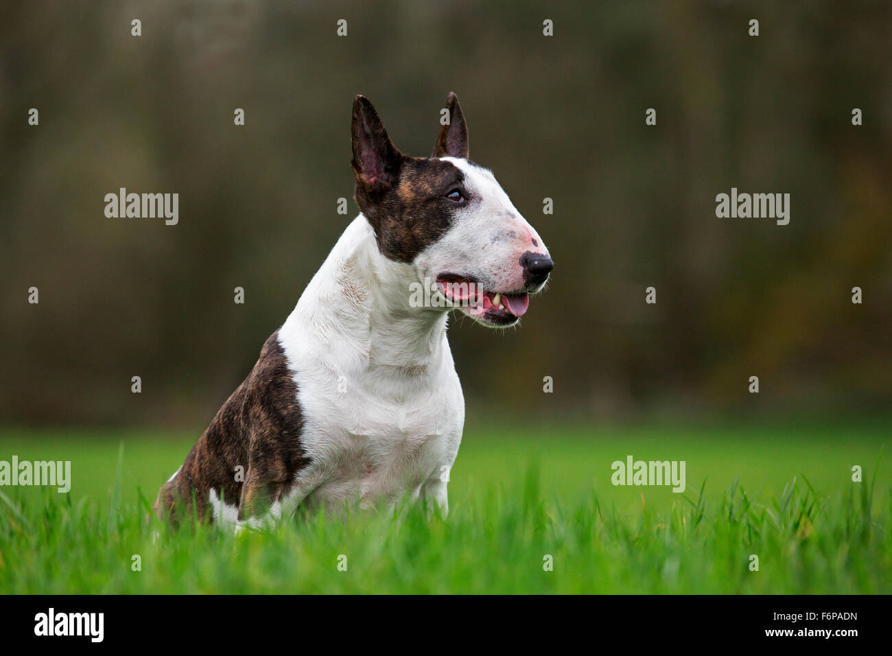 Bull terrier sitting on lawn in garden - Stock Image
