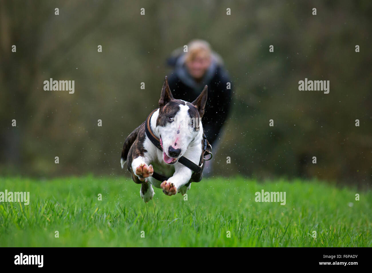 Happy bull terrier running in garden - Stock Image