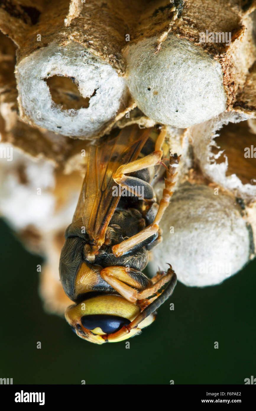 European hornet (Vespa crabro) emerging from brood cell in paper nest - Stock Image