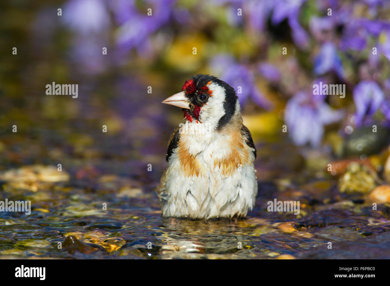 European goldfinch (Carduelis carduelis) cleaning feathers by bathing in shallow water of brook Stock Photo
