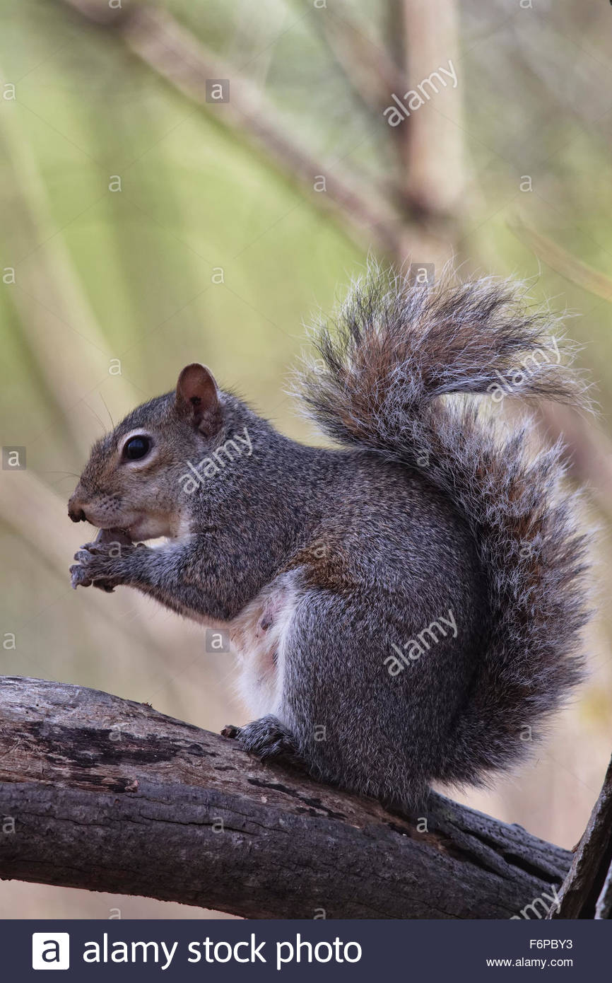 Eastern Gray Squirrel - Stock Image
