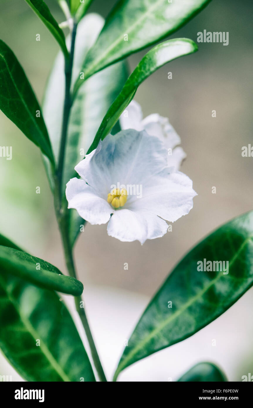 Macro Detail Of Delicate White Tropical Flower Stock Photo 90233721