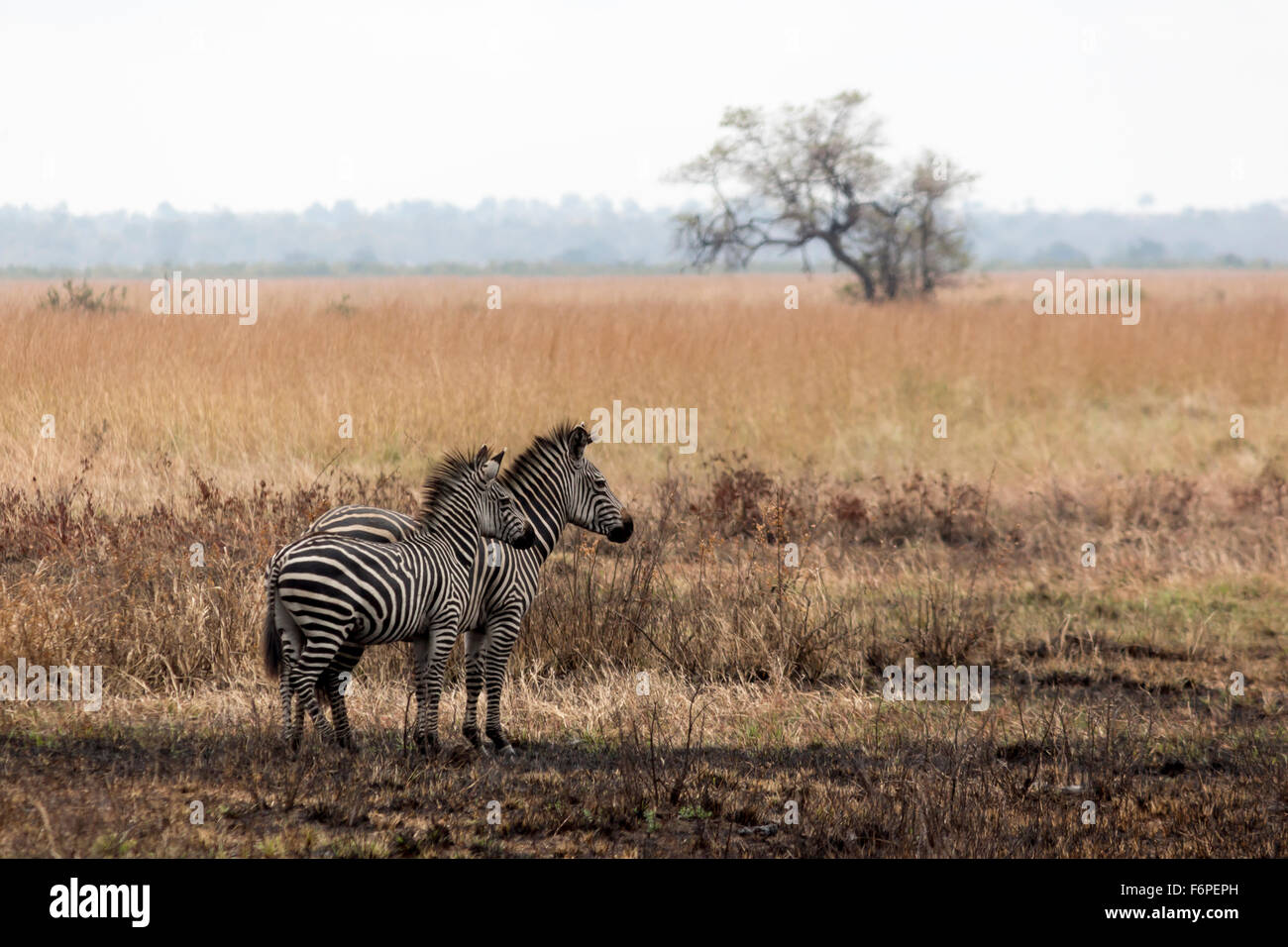 Two zebras looking right, taken on the savannah in Africa while on safari - Stock Image