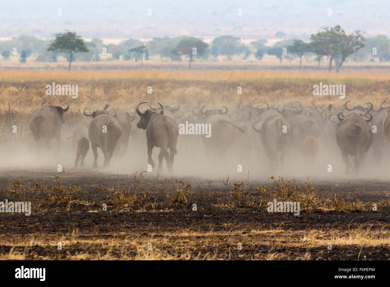 African bison stampede away in a dust cloud, photograph taken on safari in Tanzania Stock Photo