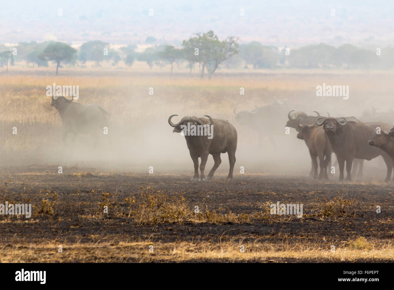 African bison in a dust cloud, photograph taken on safari in Tanzania - Stock Image