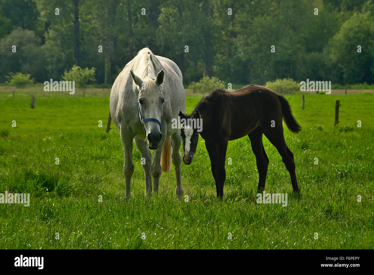 mare and foul in a meadow - Stock Image
