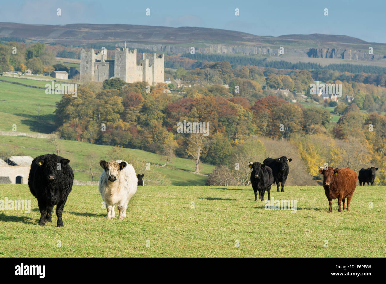 Traditional British cattle in wensleydale countryside, with Castle Bolton in background. North Yorkshire, UK - Stock Image