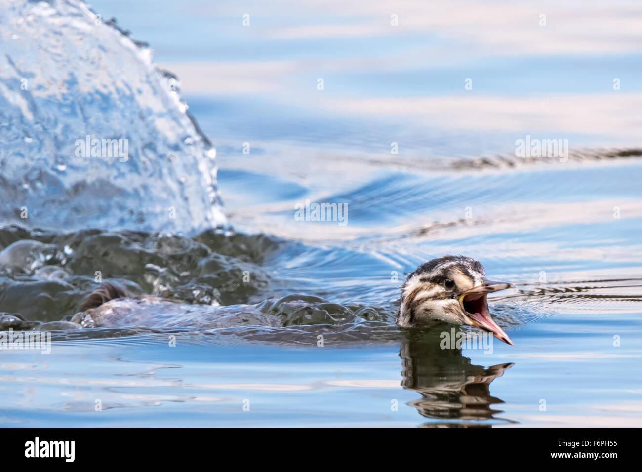 Juvenile grebe swimming - Stock Image