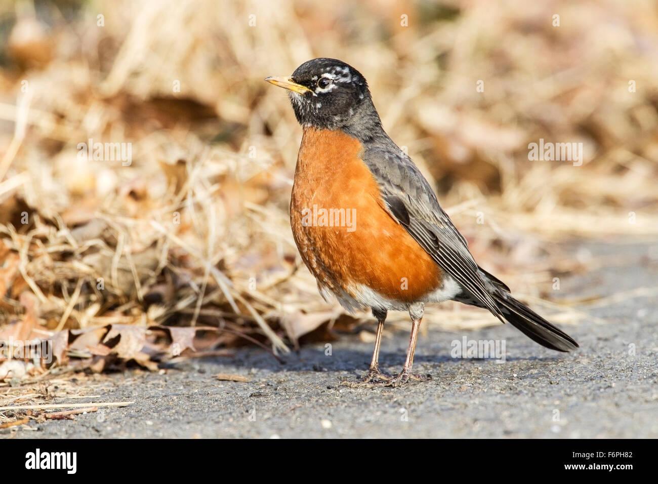 American robin, adult standing on ground near grass, Washington, USA Stock Photo