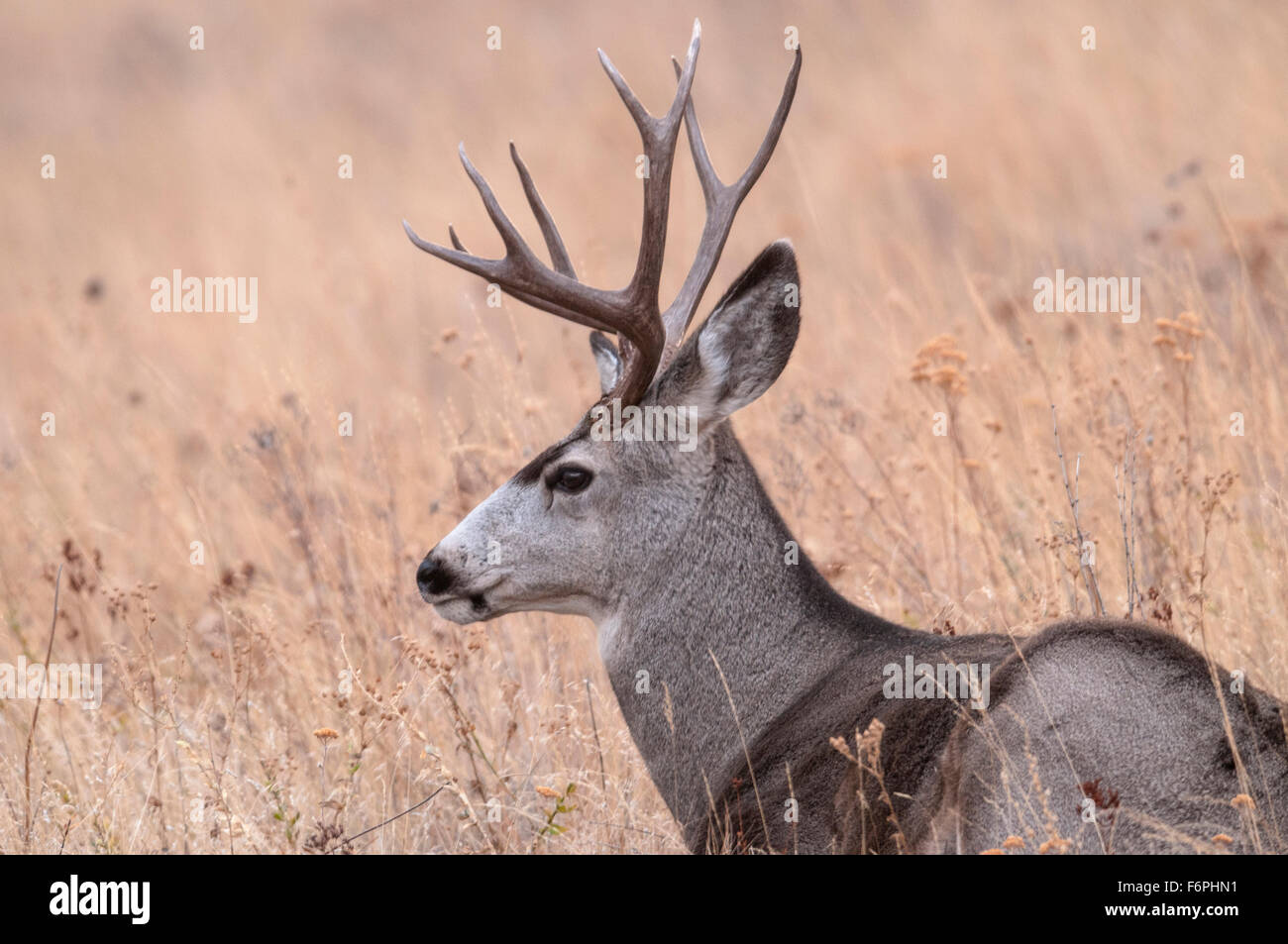 Mule Deer (Odocoileus hemionus) buck National Bison Range, Montana. - Stock Image