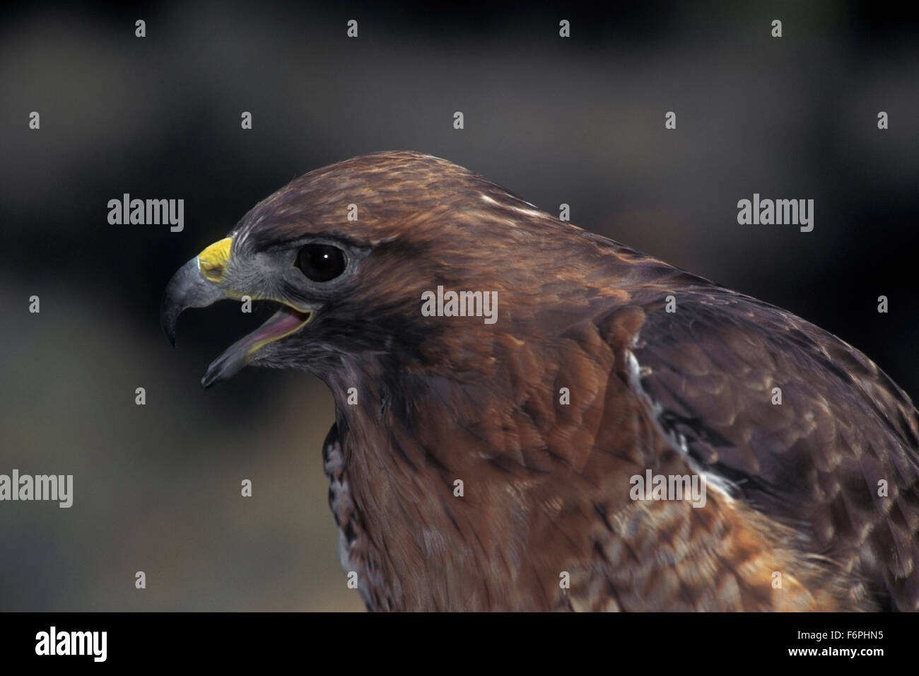 Red-tailed Hawk (Buteo jamaicensis)  Central Oregon. - Stock Image