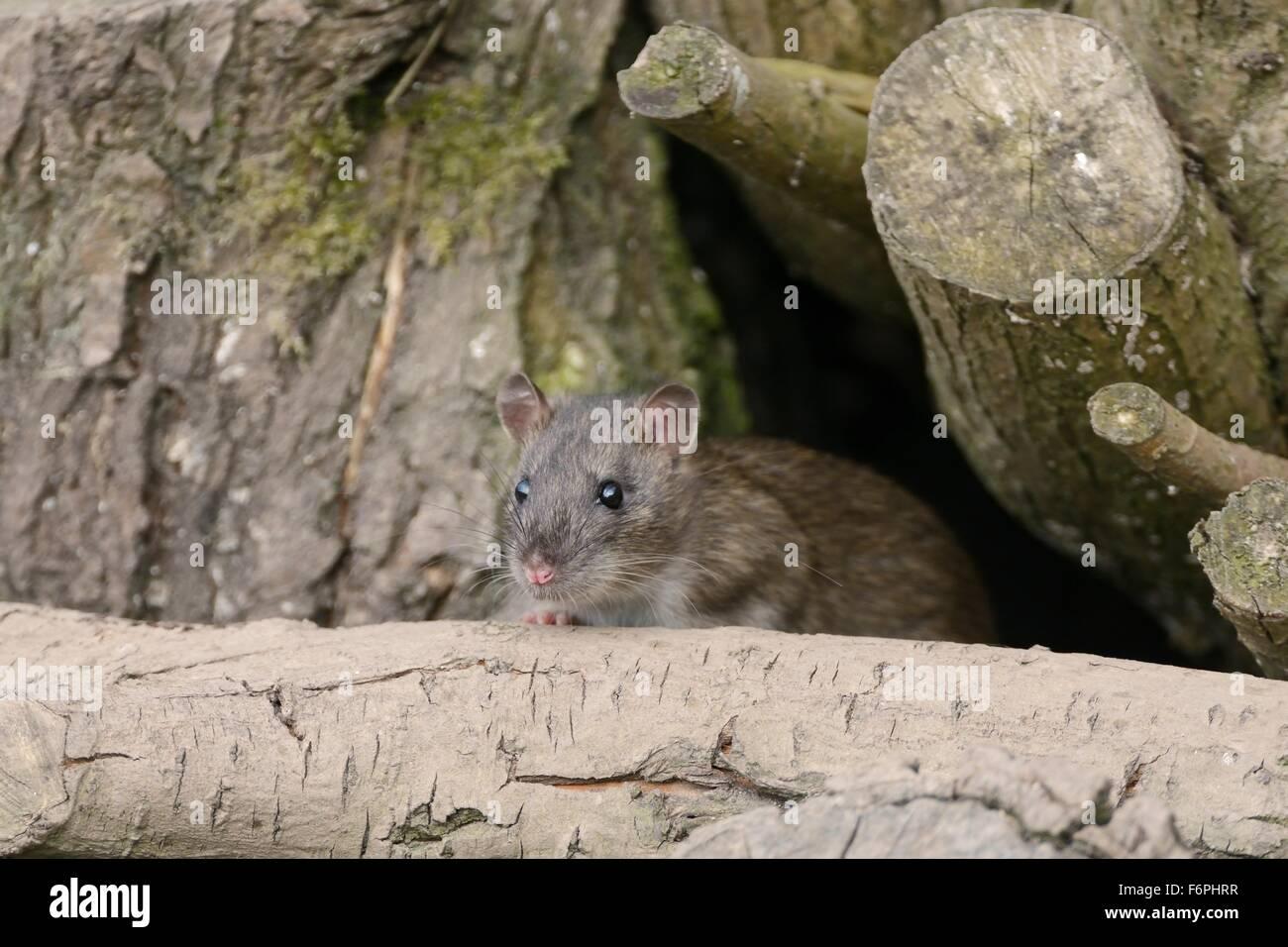 Juvenile Brown rat (Rattus norvegicus)  climbing in a wood pile, Gloucestershire, UK. - Stock Image