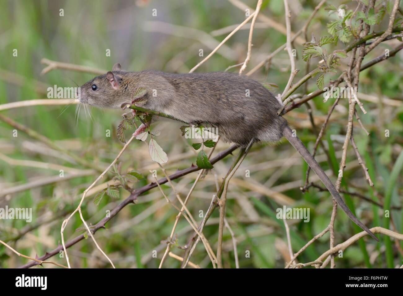 Juvenile Brown rat (Rattus norvegicus)  climbing in a Bramble bush, Gloucestershire, UK, April. - Stock Image