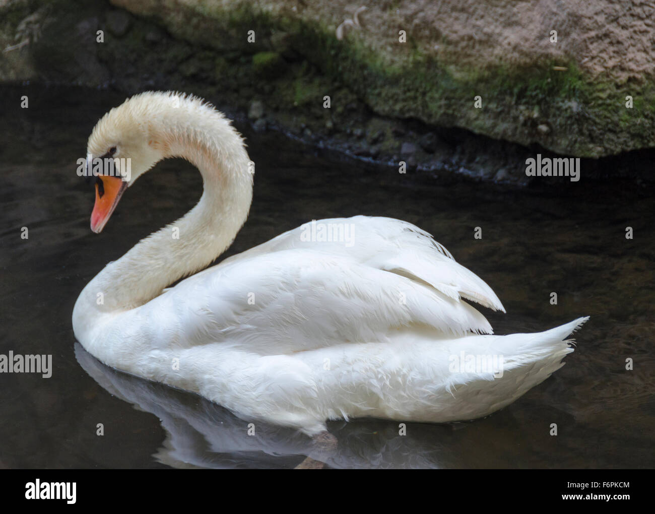 Mute swan in a classic pose known as busking (wings half raised and neck curved back),  a pond on the grounds of - Stock Image