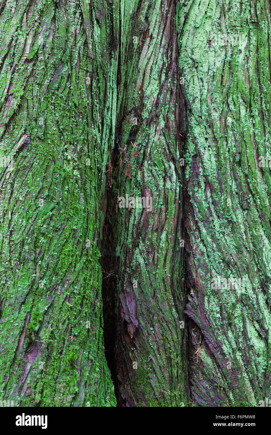 Abstract image of bark on a Western Red Cedar tree in a temperate rain forest Stock Photo
