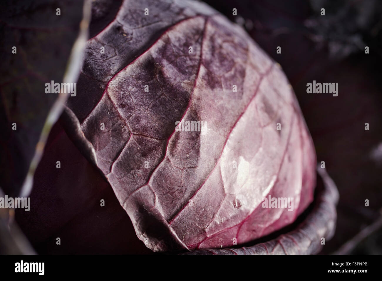 a whole head of red cabbage - Stock Image