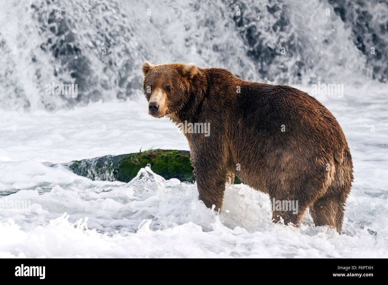 A juvenile male coastal brown bear actively searches beneath a thundering waterfall for Sockeye salmon during their - Stock Image