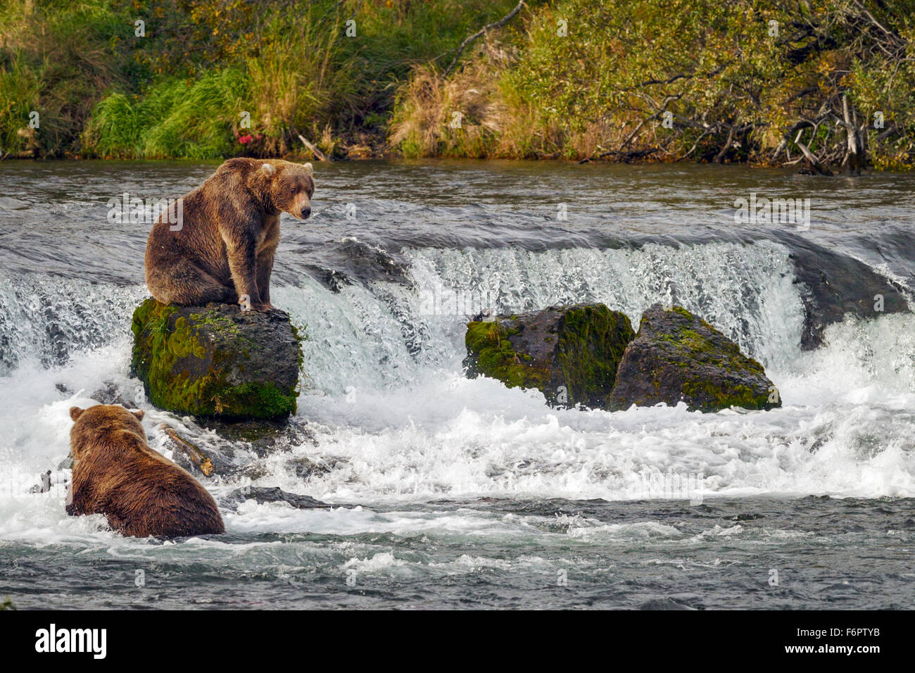 A young male brown bear sits on one of the rocks by Brooks Falls as he prepares to return to his fishing spot Stock Photo