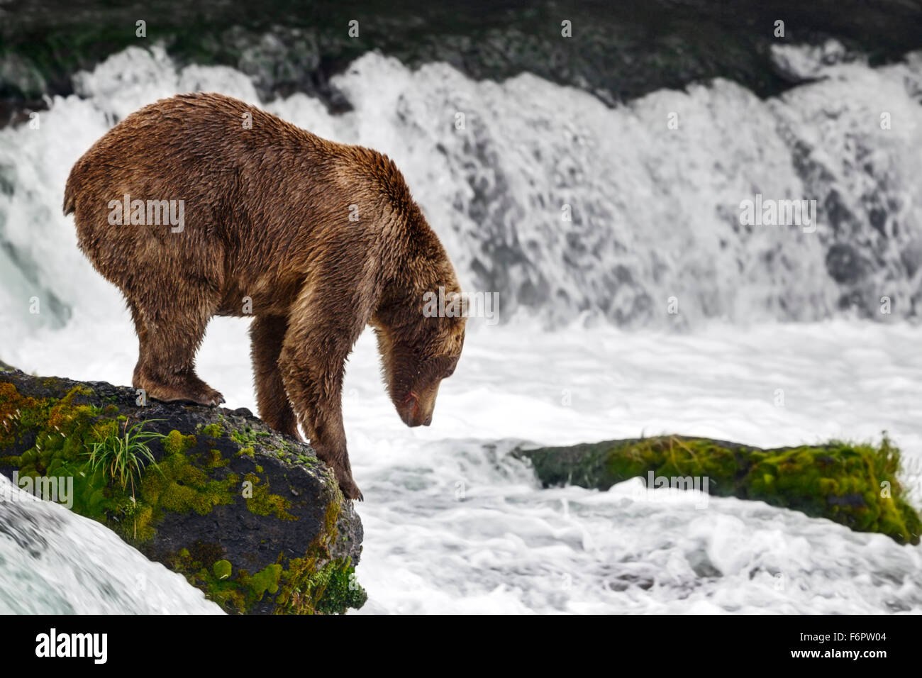 A subadult brown bear steps down from the slippery rock into the falls to take up his fishing spot, Brooks Falls - Stock Image