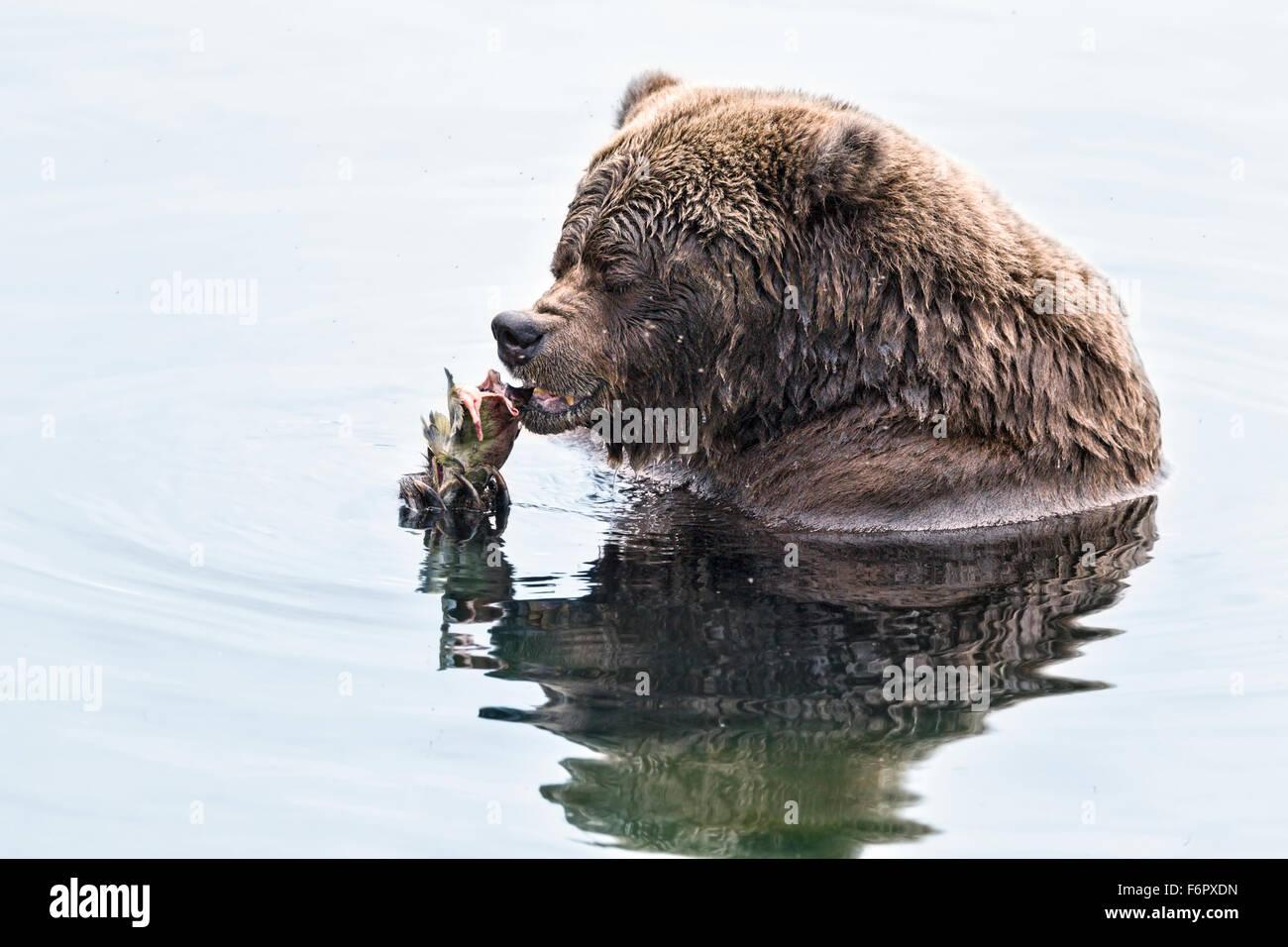 Female brown bear feeding on salmon - Stock Image