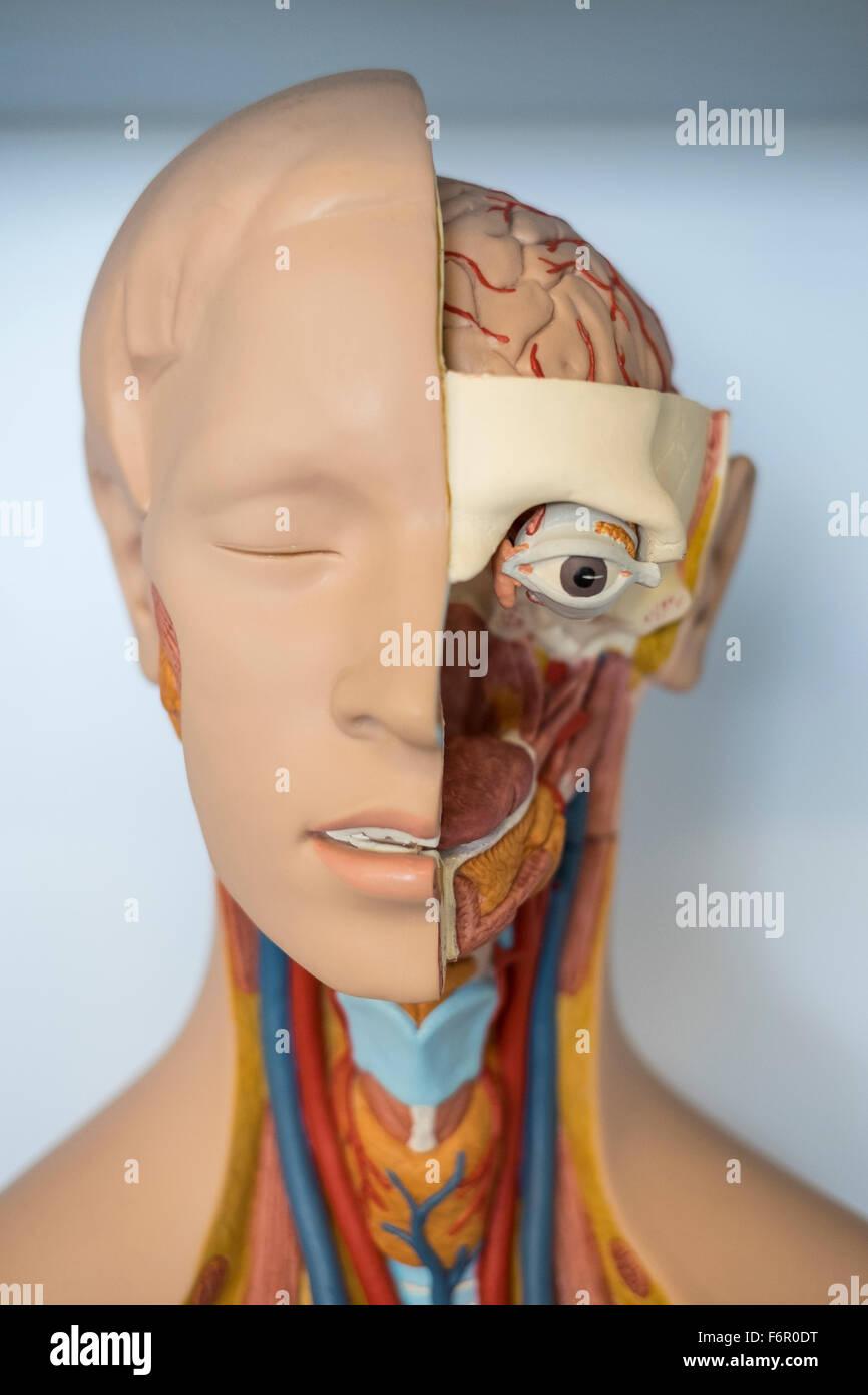 human anatomy medical model anatomical biology - Stock Image