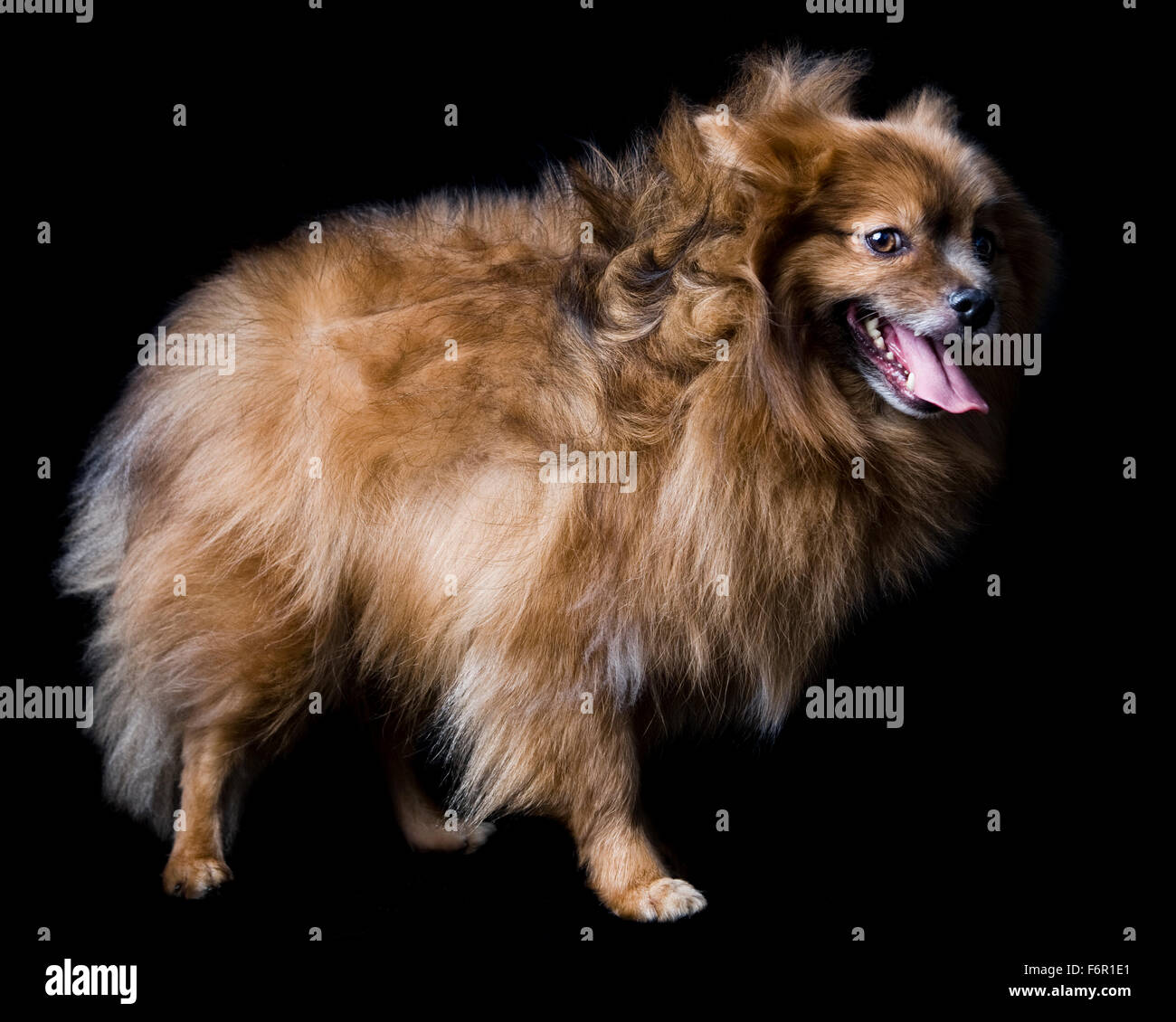 Wind blown smiling brown Pomeranian dog standing in studio on black background - Stock Image