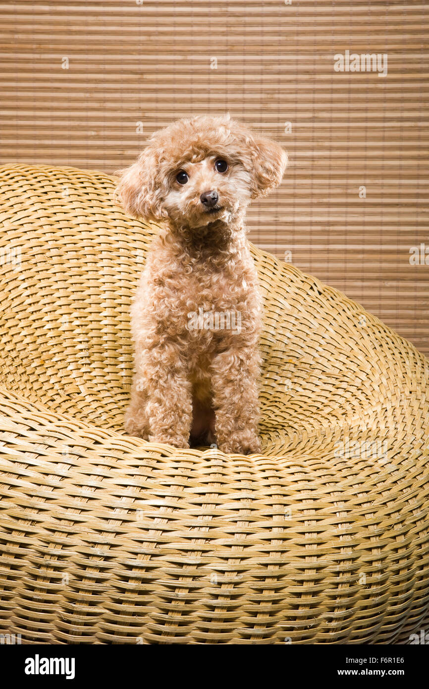 Apricot colored miniature poodle sitting upright in circular wicker chair of same color facing camera with eye contact - Stock Image