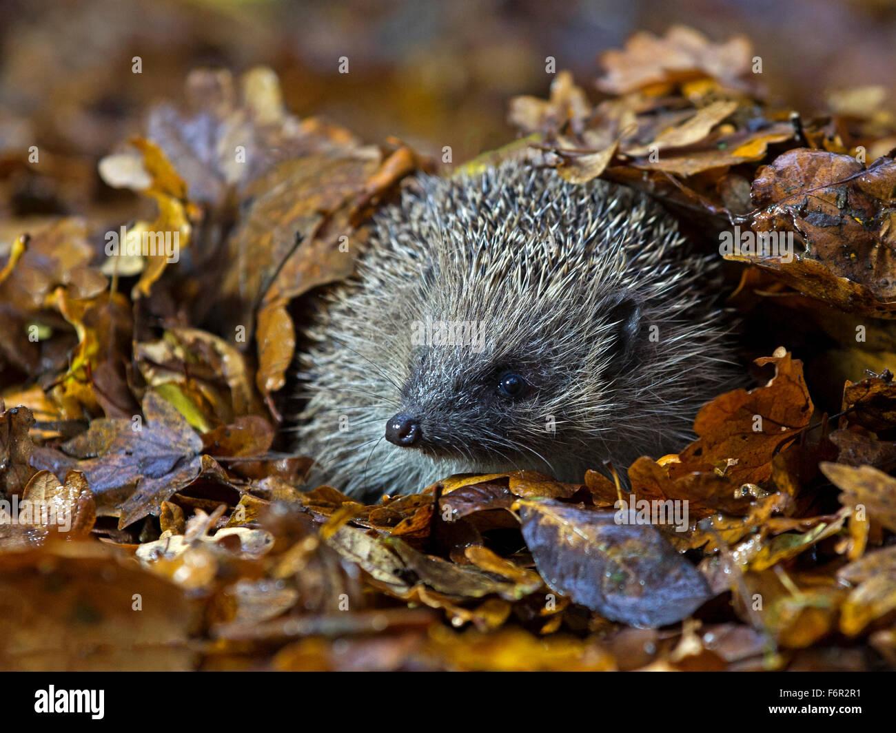 European hedgehog in Autumn leaves - Stock Image