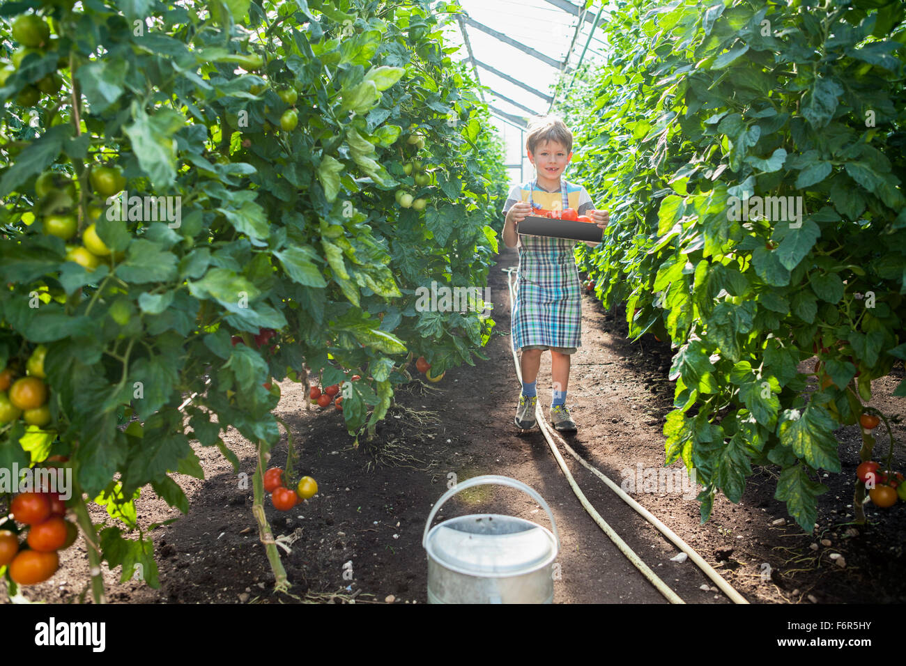 Boy in greenhouse among tomato plants - Stock Image