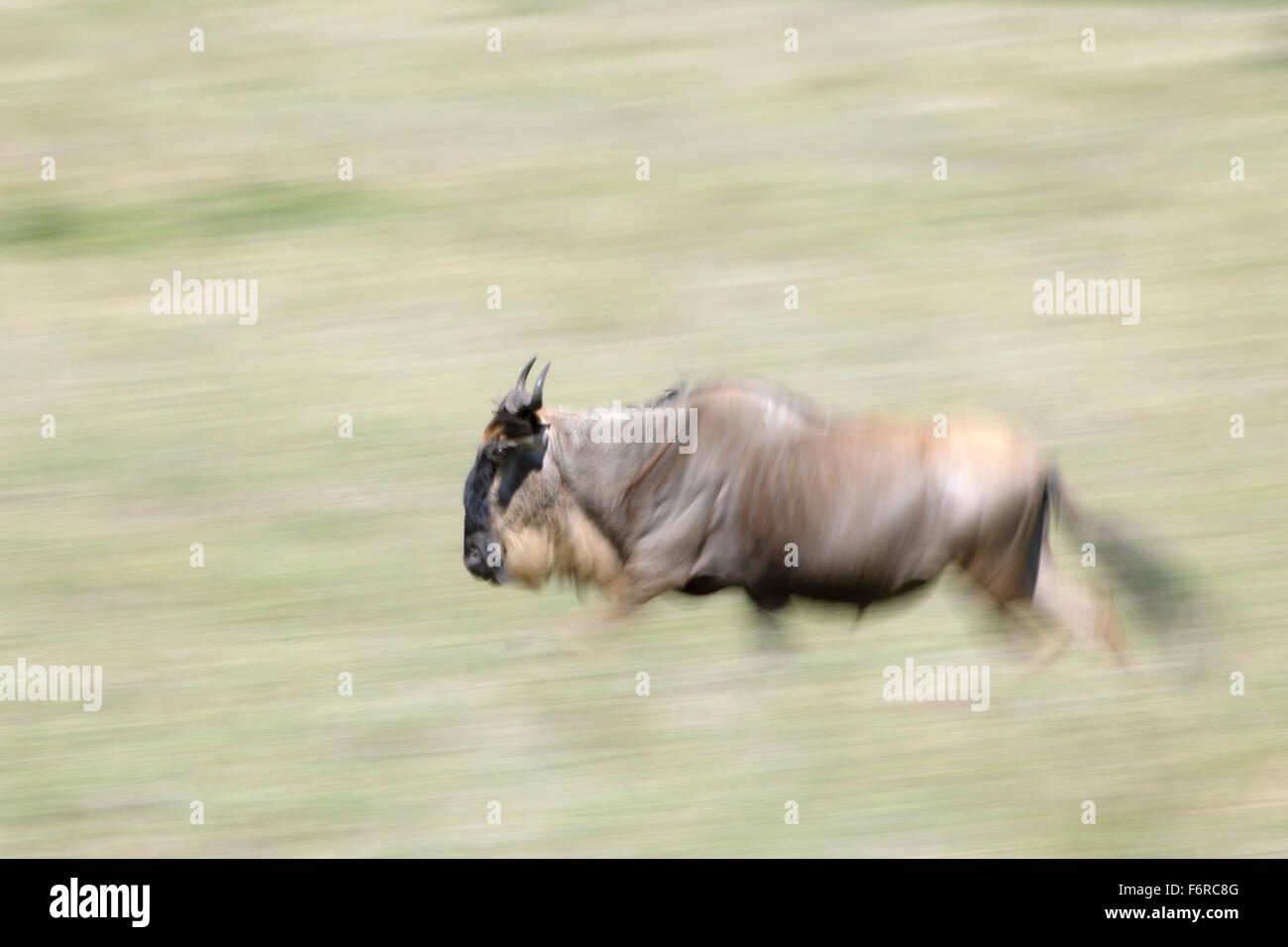 Blue wildebeest, brindled gnu, white-bearded wildebeest (Connochaetes taurinus), running, with motion blur, Serengeti - Stock Image