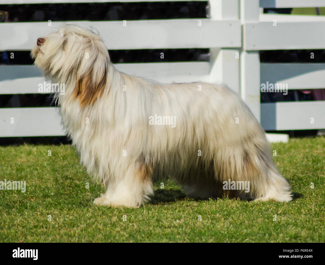 A young, happy, beautiful white fawn Bearded Collie standing on the lawn. Beardie dogs were used for herding, distinctive - Stock Image