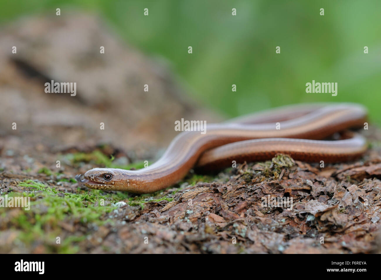 Adult Slow Worm / Blindschleiche ( Anguis fragilis ) laying on natural ground darting its tongue in and out. Stock Photo