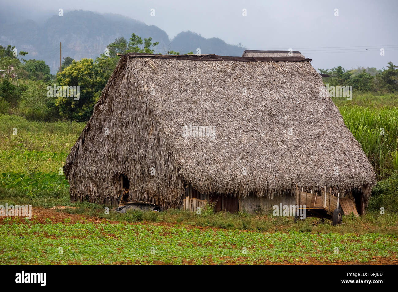 covered with leaves barn for drying tobacco leaves, Viñales, Cuba, Pinar del Río, Cuba - Stock Image