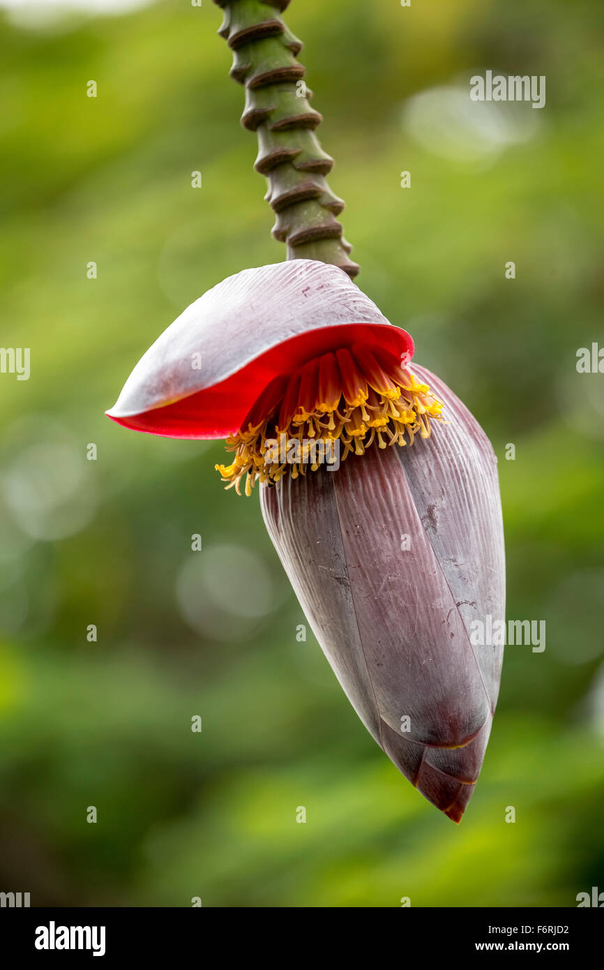 Blossom of a banana (Musa paradisiaca), open banana flower, Viñales, Cuba, Pinar del Río, Cuba - Stock Image