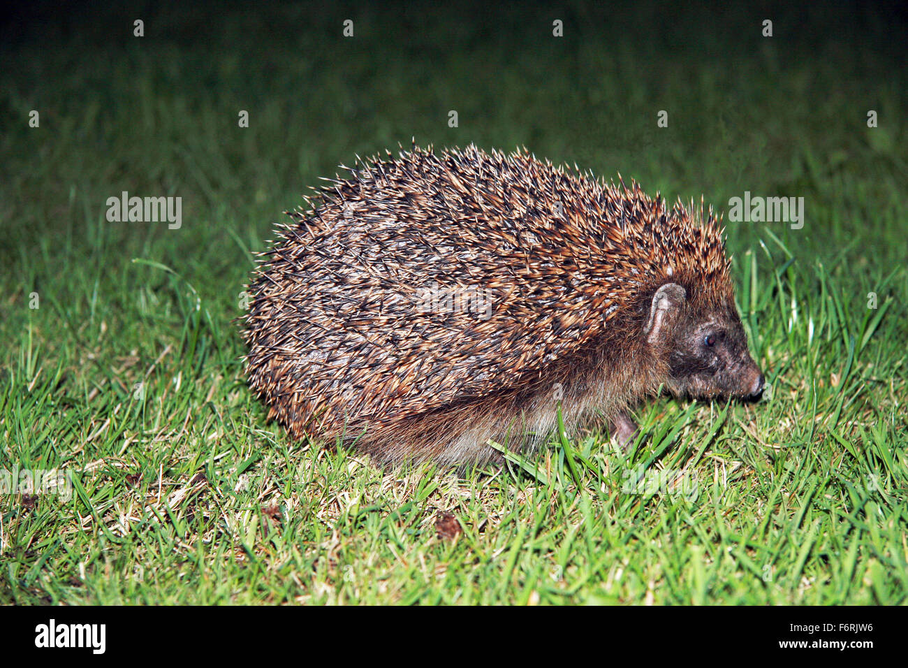 European Hedgehog Erinaceus europaeus in garden at night looking for food - Stock Image
