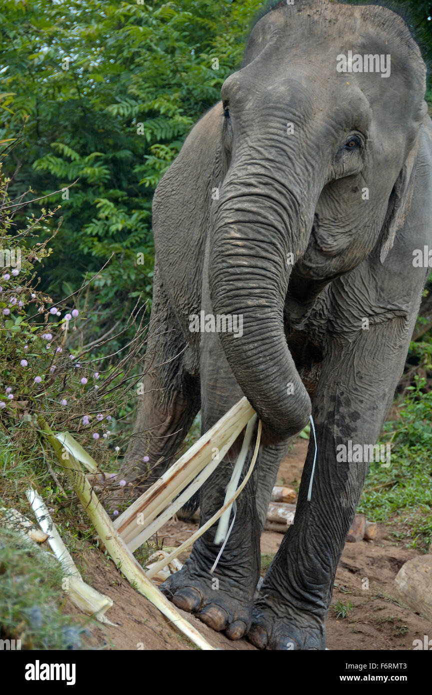 Elephant in jungle near the Mekong river Stock Photo