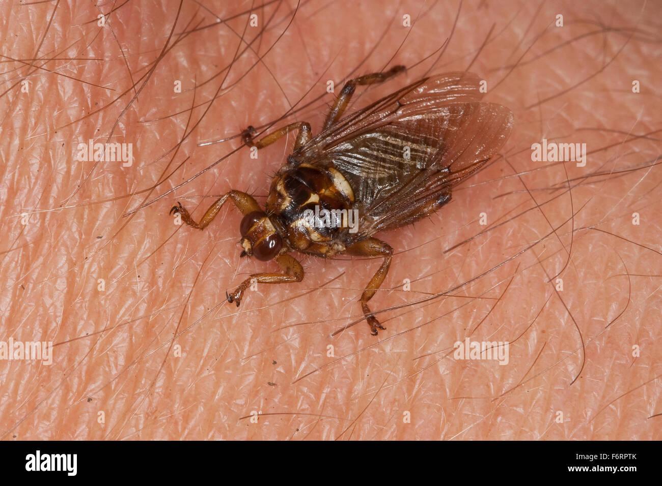 Forest-fly, louse fly, louse flies, Pferdelausfliege, Pferde-Lausfliege, Lausfliege, Lausfliegen, Blutsauger, Hippobosca - Stock Image