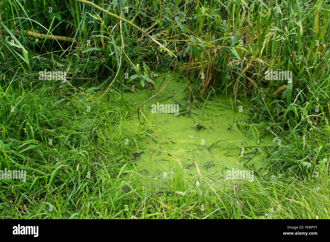 A close up of a green murky swamp surrounded by overgrown grass and weeds - Stock Image