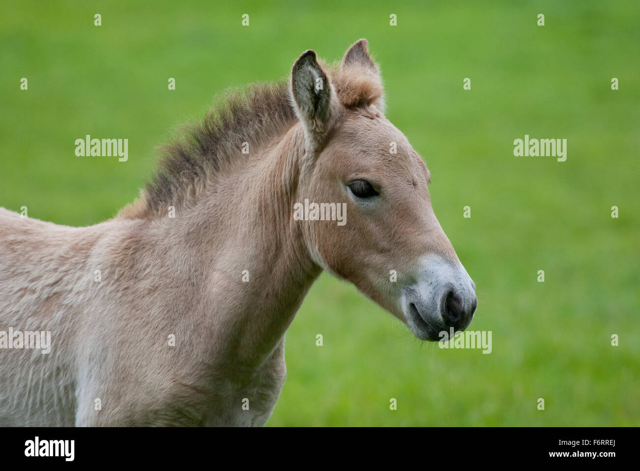 Przewalski's Horse, Asian Wild Horse, foal, Przewalski-Pferd, Fohlen, Przewalskipferd, Wildpferd, Equus ferus - Stock Image