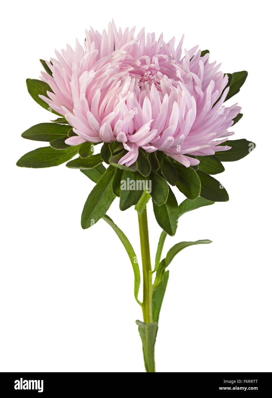 Pink Aster Flower Head Closeup Stock Photos Pink Aster Flower Head