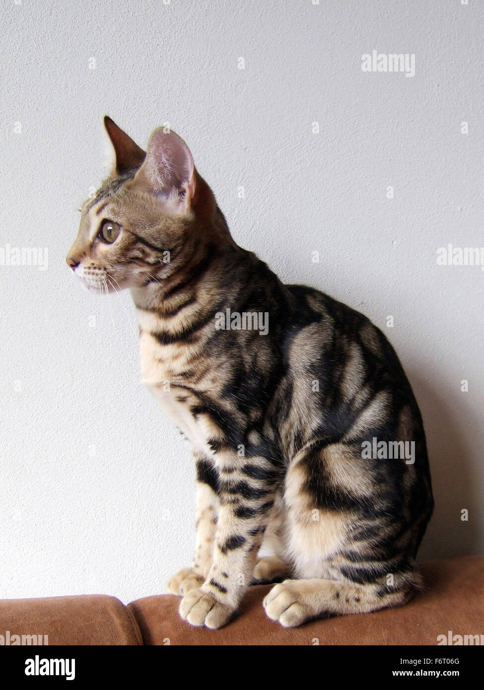 a6d2825c6d Marble bengal cat taken at home Stock Photo  90266808 - Alamy