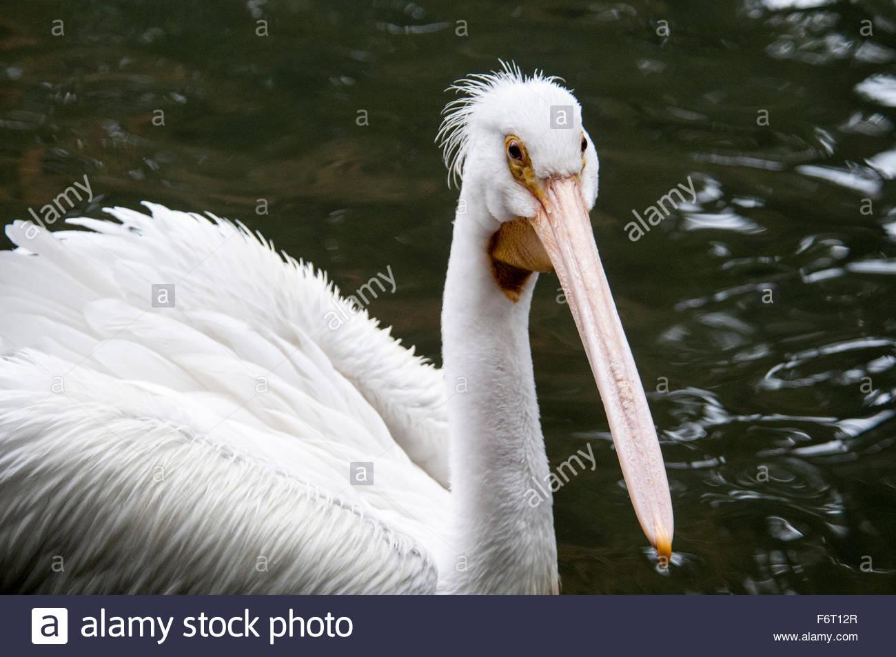 Close up of an American White Pelican, Pelecanus erythrorgnchos, Bronx Zoo, New York, NY, USA Stock Photo