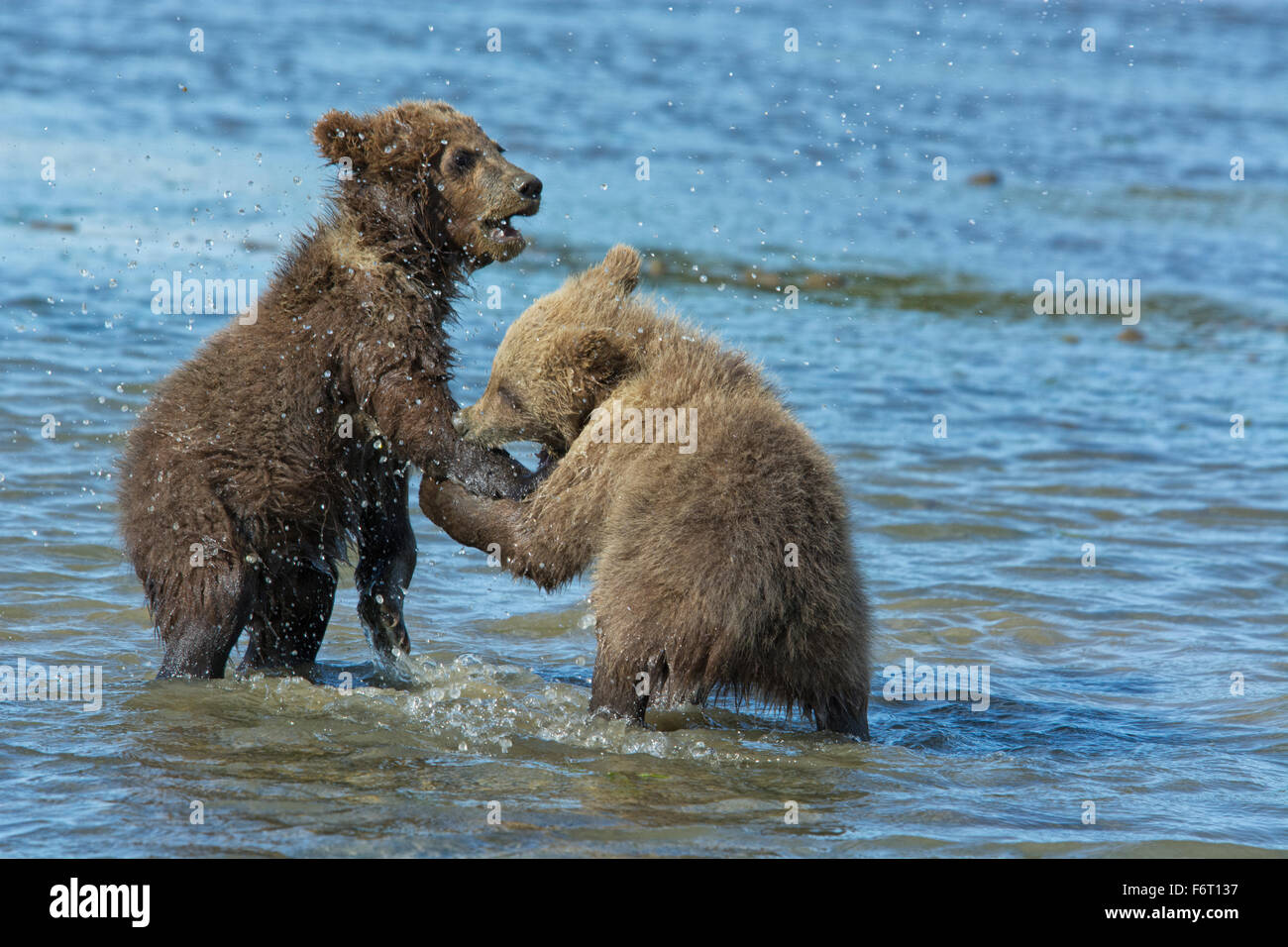 Two Grizzly Bear Spring Cubs, Ursus arctos, playing in the water with one biting the paw of the other, Cook Inlet, - Stock Image