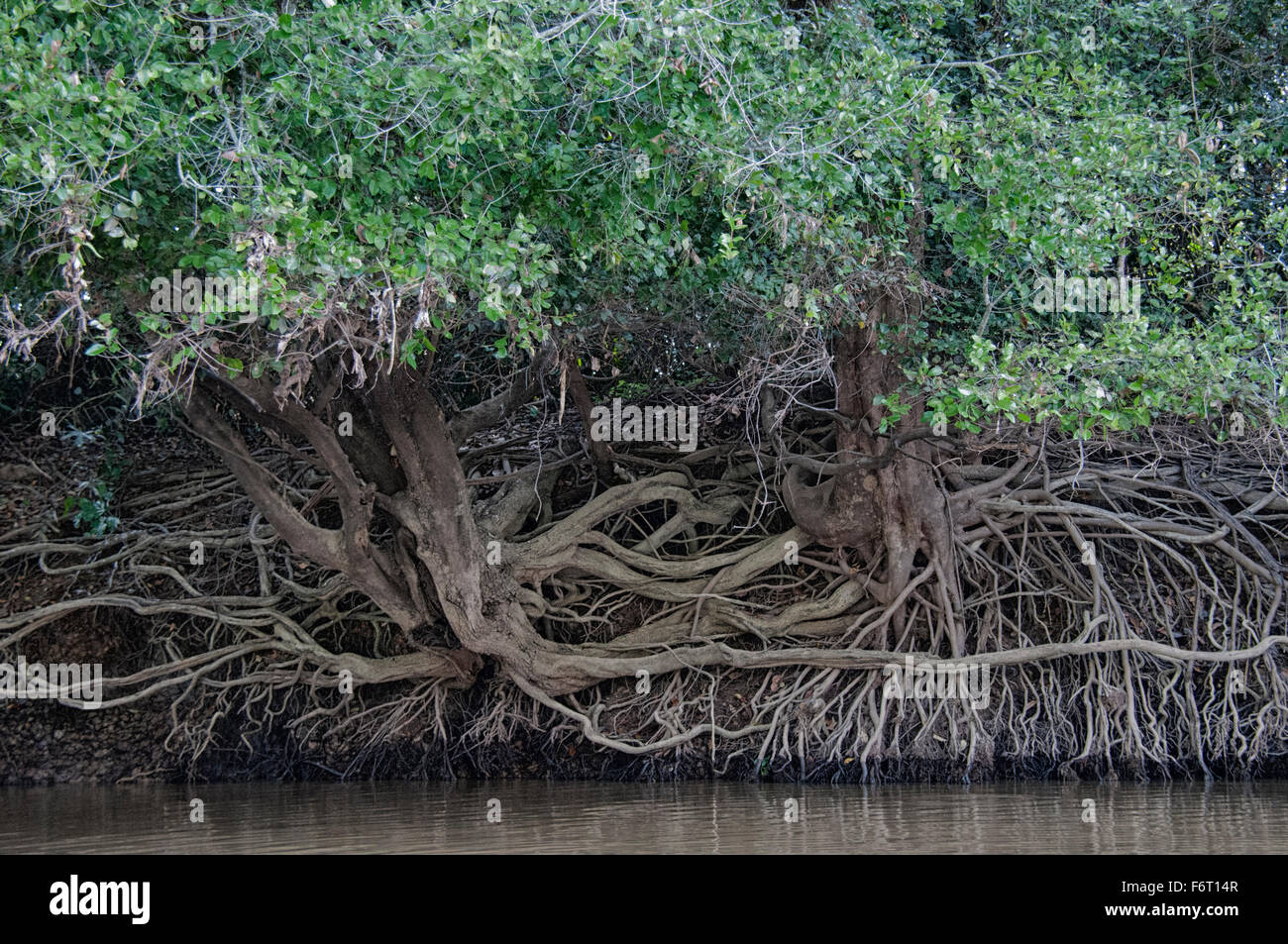 During the dry season the river level goes down, exposing tree roots on riverbanks in the Pantanal, Mato Grosso, - Stock Image