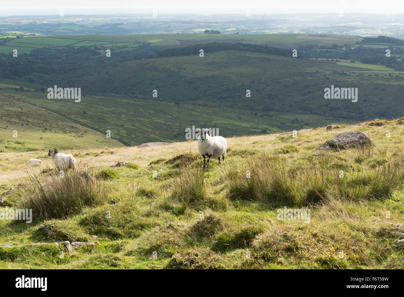 Two black-faced sheep on grass and rush covered hillside above River Erme on Dartmoor - Stock Image