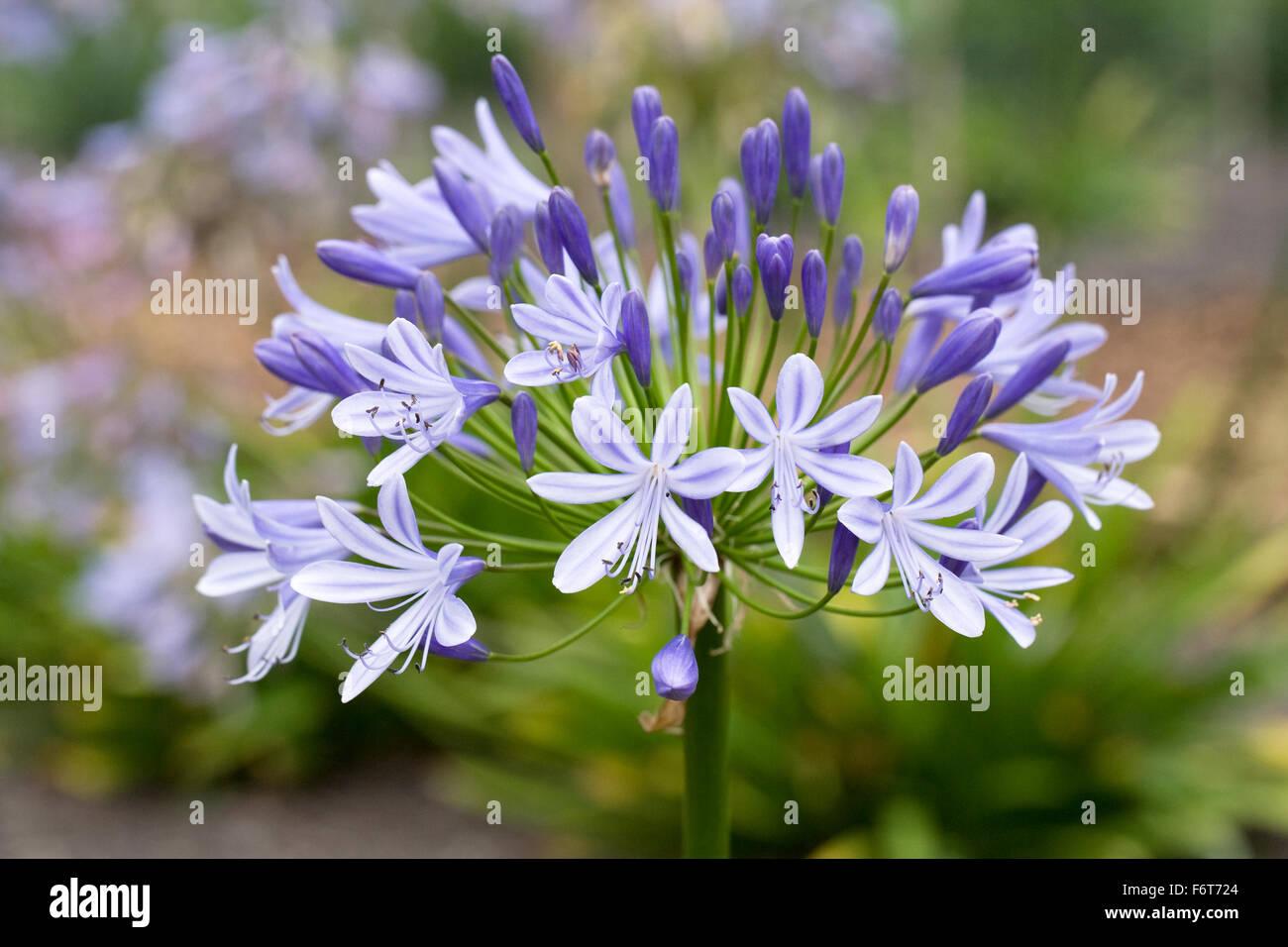 Lavendar Blue Flowers Close Up Stock Photos Lavendar Blue Flowers