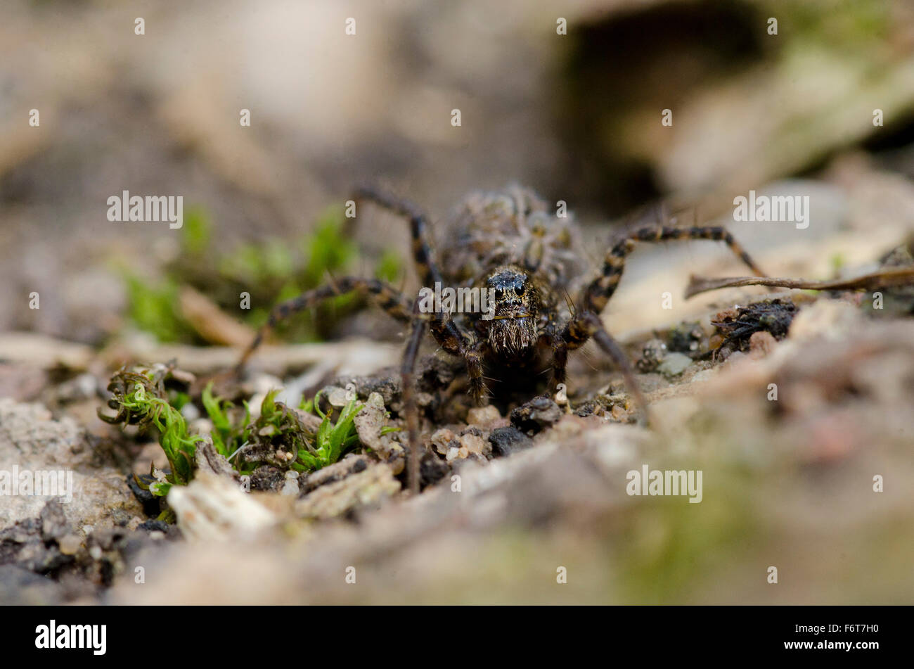 Wolf spider with young on her back - Stock Image
